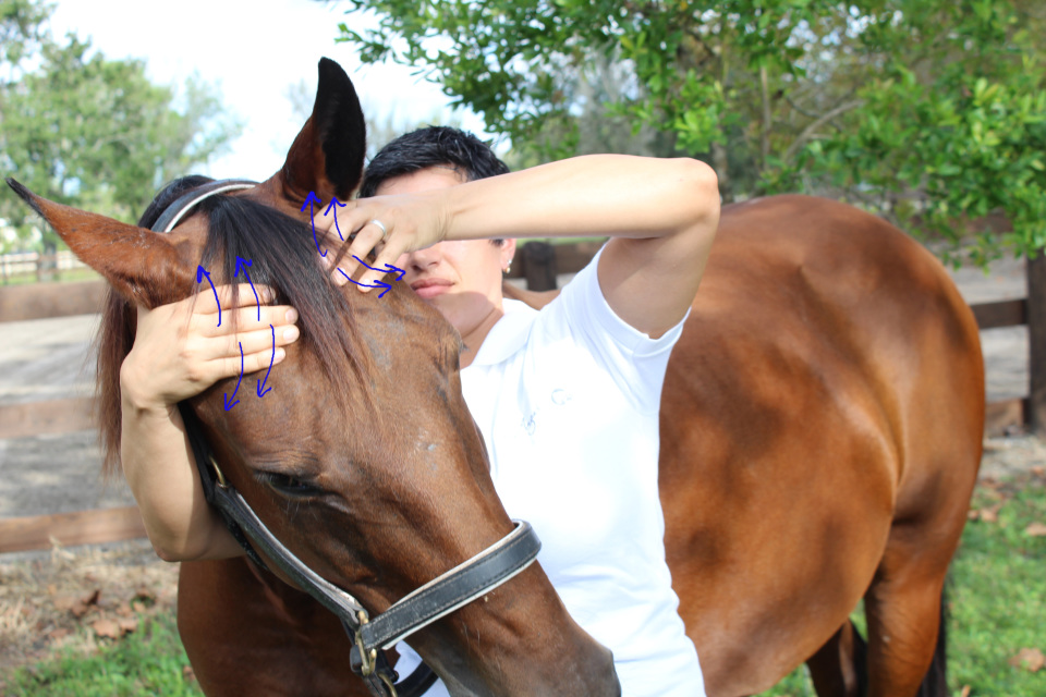 Ultimate Equine Bodywork Certification Course Bundle
